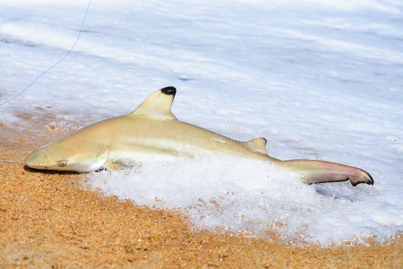 Fischer fing den Haifisch auf dem Strand mit weißer Schaumwelle in dem Meer Haifisch auf Fischenstange mit Strandhintergrundhaifi lizenzfreie stockbilder