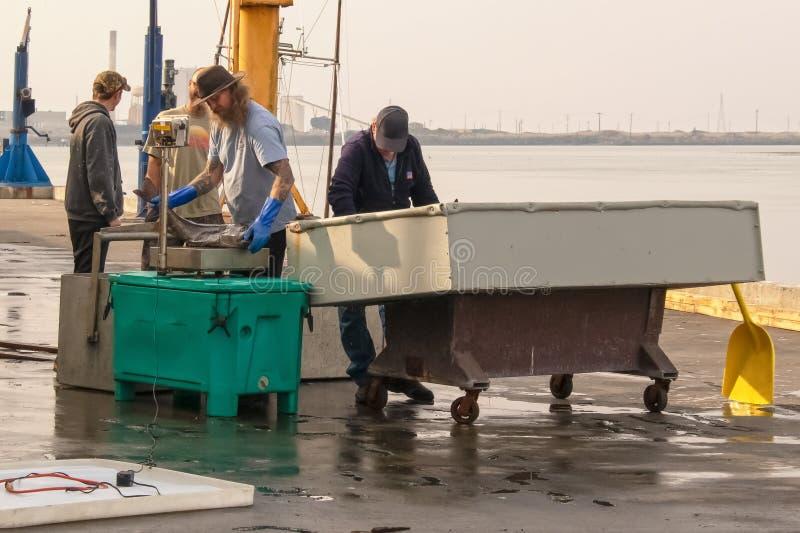 Fischer-Gewichtsthunfisch 2018_11_20 Arcata USA gerade weg vom Boot auf dem Dock, zum an den Fischhändler an einem regnerischen T stockbild