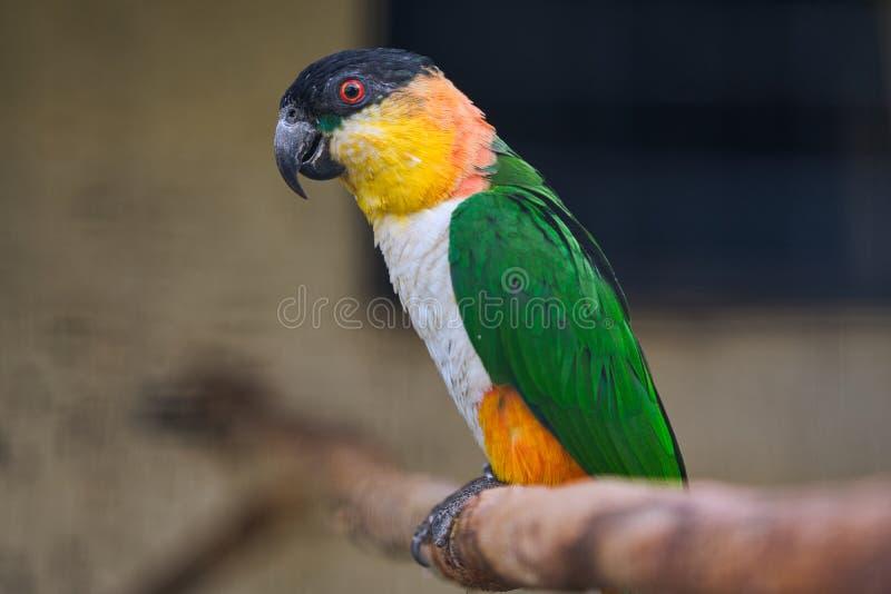 Fischer lovebird papuga na gałąź zdjęcie stock