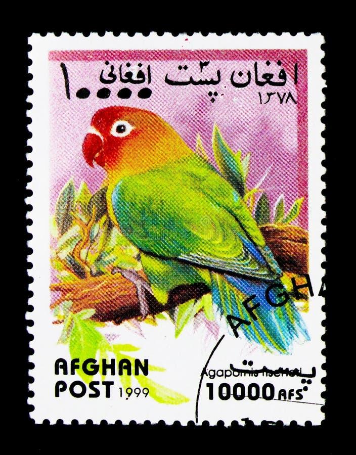 Fischer \ 'periquito de s (fischeri) do Agapornis, serie dos papagaios, cerca de 19 imagens de stock royalty free