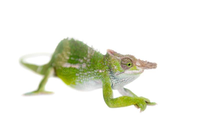 Fischer's chameleon, Kinyongia fischeri on white stock photo