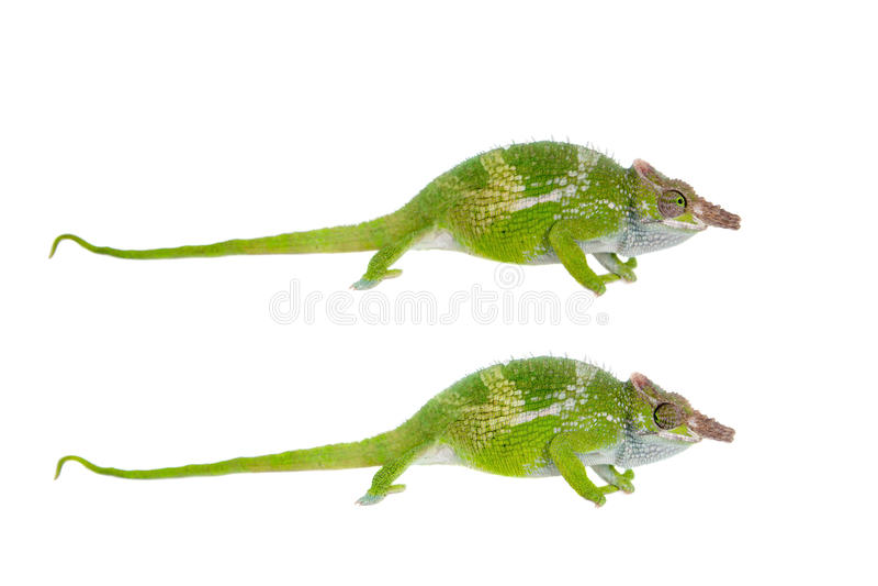 Fischer's chameleon, Kinyongia fischeri on white stock image