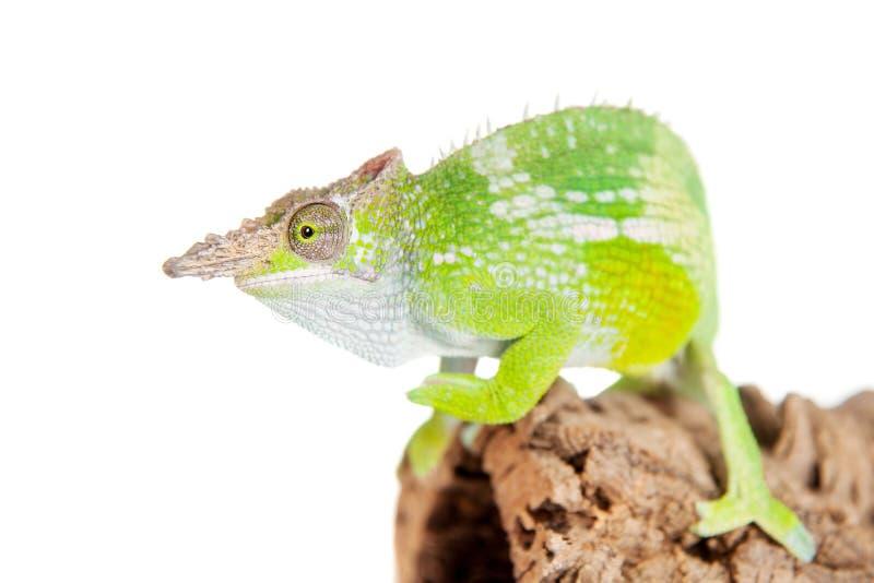 Fischer's chameleon, Kinyongia fischeri on white royalty free stock photography