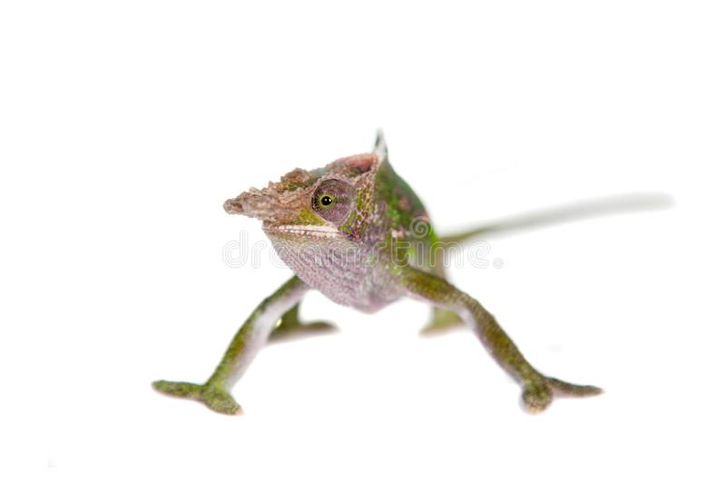 Fischer's chameleon, Kinyongia fischeri on white stock photos
