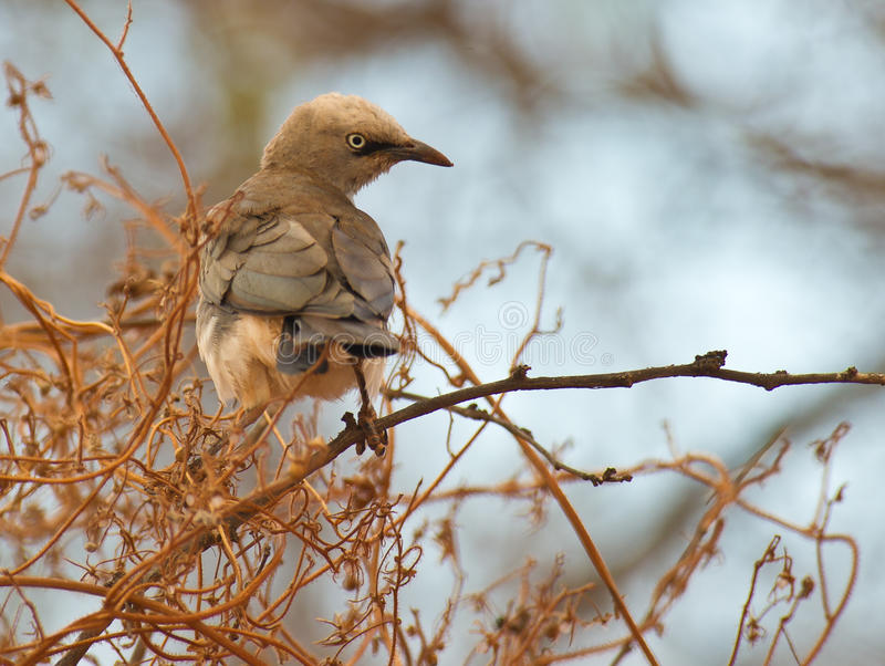 Fischer´s Starling. A Fischer´s Starling looks around perching on some scrubs of Tsavo national park, Kenya stock photography