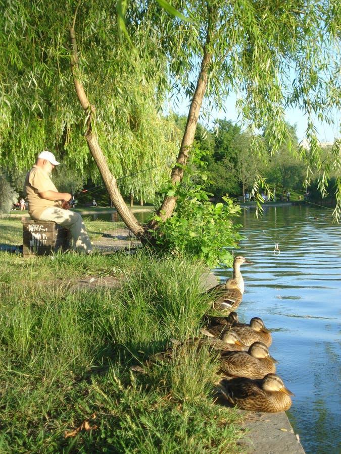Fischer und Reihe von Wildenten an lakeshore lizenzfreie stockfotos