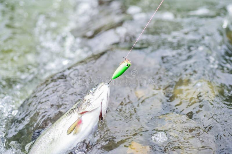 Fischerei auf Fluss Hobby und Sporttätigkeit Guter Fang Fliegenfischenforelle Erholung und Freizeit im Freien Stillstand und stockbilder