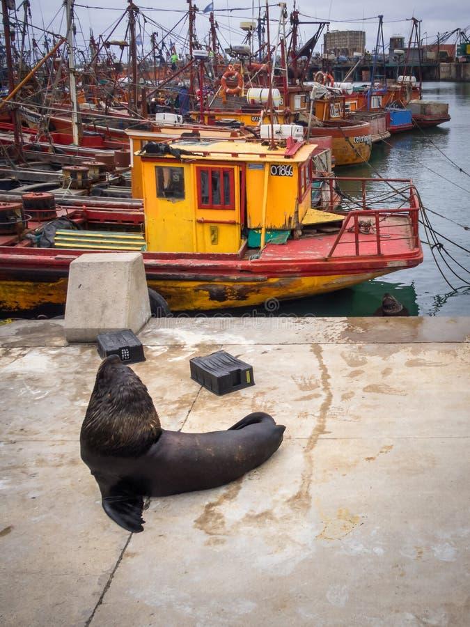 Fischereihafen und Seelöwen, Stadt von Mar del Plata, Argentinien lizenzfreies stockfoto