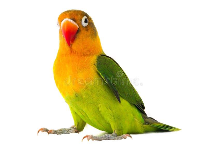 fischeri爱情鸟.