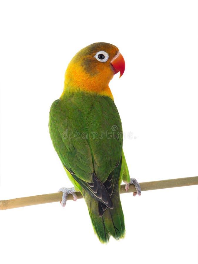 Fischeri lovebird zdjęcie royalty free