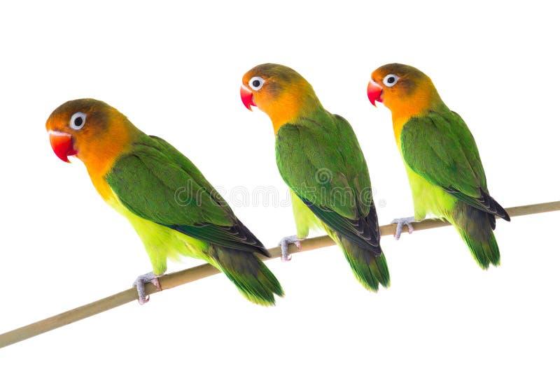 Fischeri lovebird papugi zdjęcia royalty free