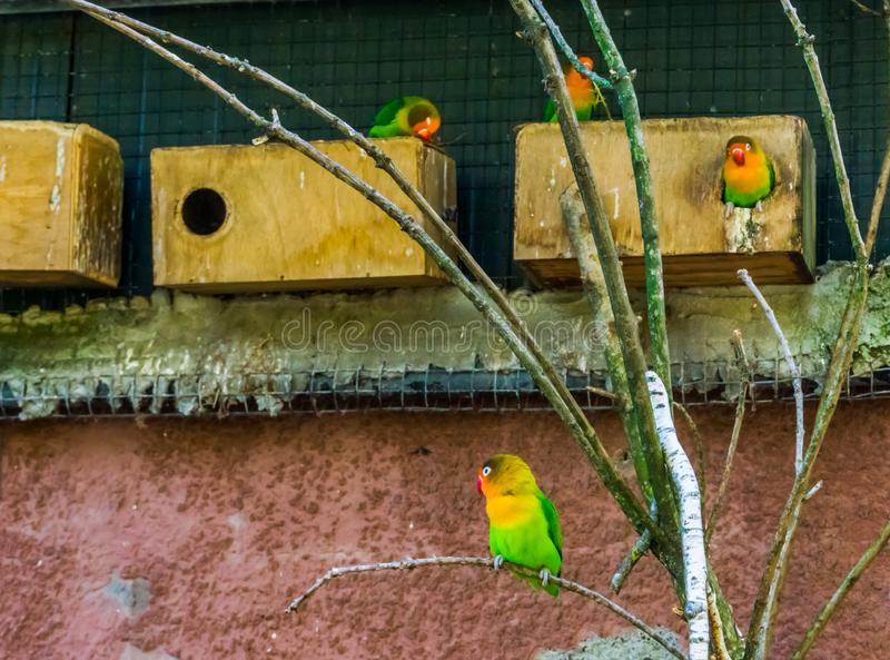 Fischers dvärgpapegojor i färgrika och vibrerande dvärg- papegojorna de aviarium, populära husdjur i aviculture royaltyfria foton