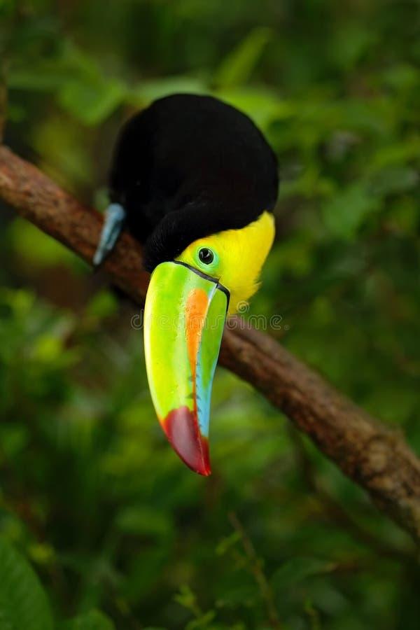 Fischertukan, Ramphastos-sulfuratus, Vogel mit der großen Rechnung, die herein auf der Niederlassung im Wald, Detailschnabelportr lizenzfreies stockbild