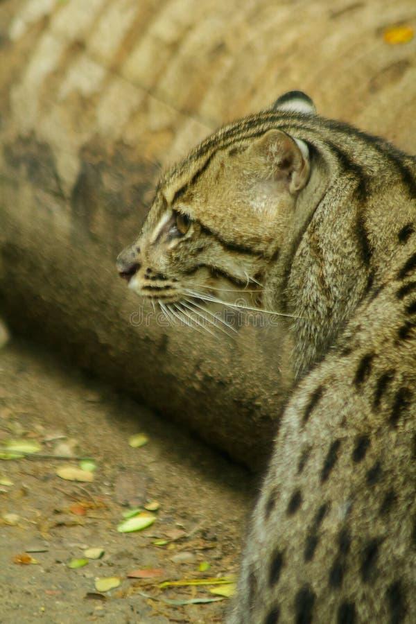Fischkatze ist ein S?ugetier Kleine Tigerunterart stockfotos