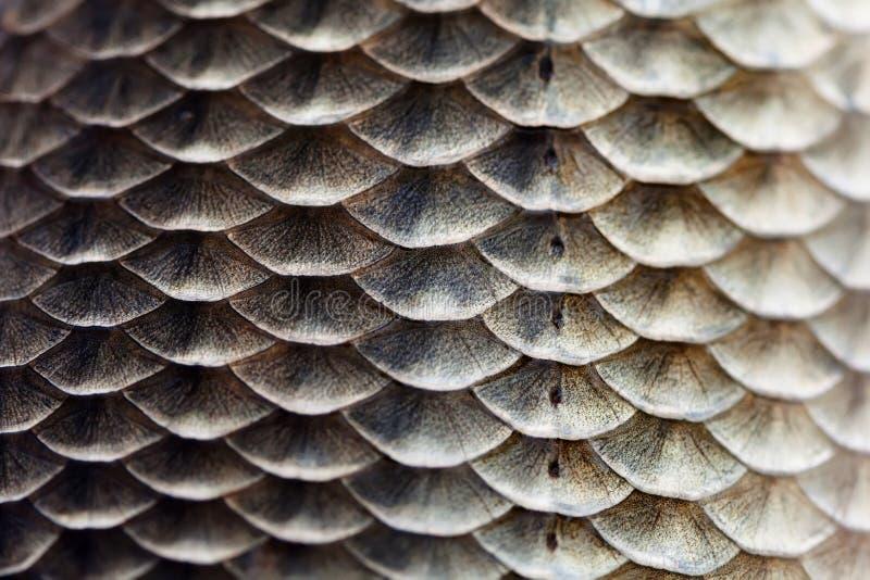 Fischschuppehautbeschaffenheitsmakroansicht Geometrischer Musterfoto Karausche Carassius schuppig mit seitlicher Linie vorgewählt stockfoto