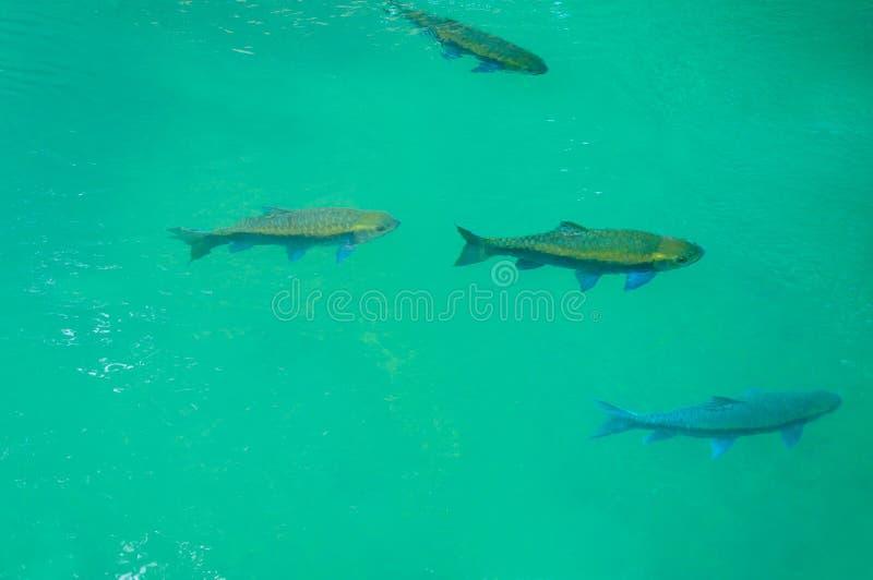 Fischschwimmen im Trinkwasser stockbild