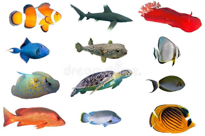 Fischspezies - Index von den Fischen des Roten Meers lokalisiert auf Weiß lizenzfreies stockfoto