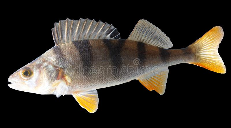 Fischstange lokalisiert auf schwarzem Hintergrund lizenzfreies stockfoto