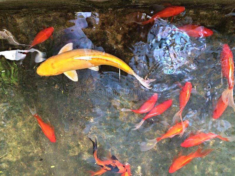 Fischteich mit Fischen lizenzfreie stockfotos
