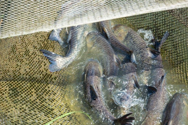 Fischtischler gefangen im Netz stockfotos