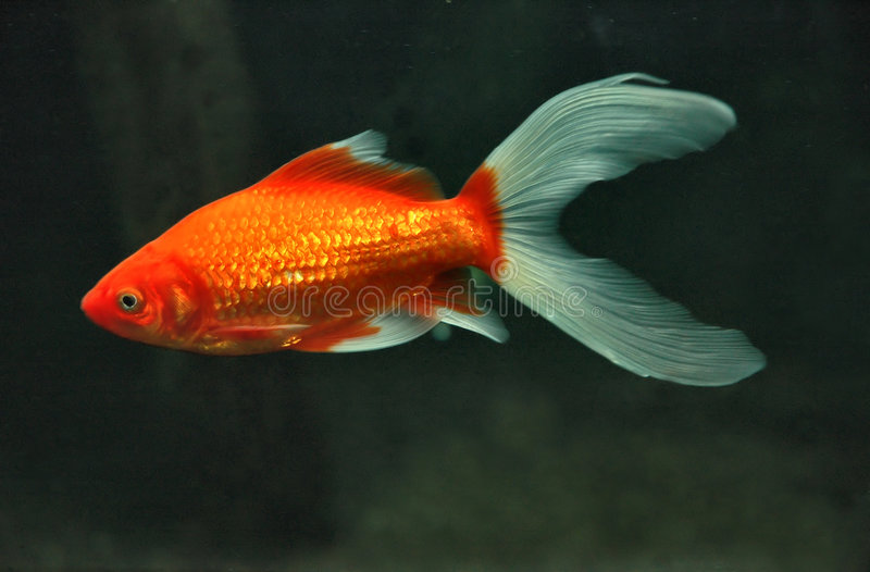 Download Fish stock image. Image of bright, tail, depth, ocean, small - 165323