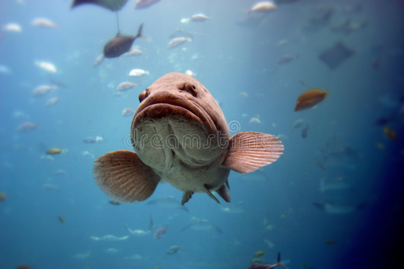 Fish. Swimming in a tank royalty free stock photography