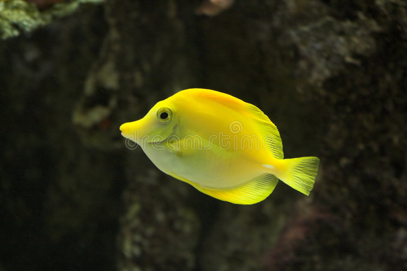 Fish. Bright Yellow Tropical Fish