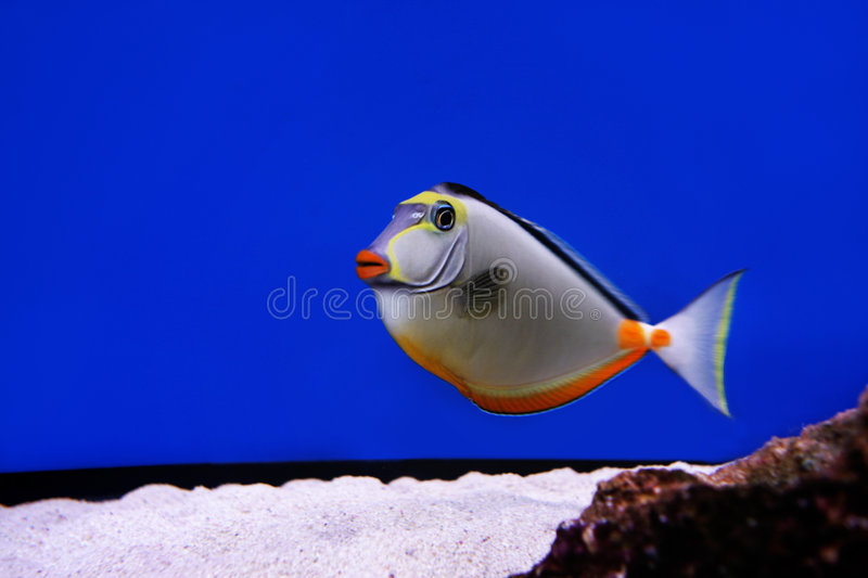 Fish. Lady fish in an aquarium with a blue background