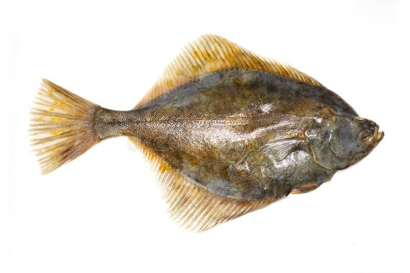 Fish. Isolated flat fish, turbot or fluke stock photo