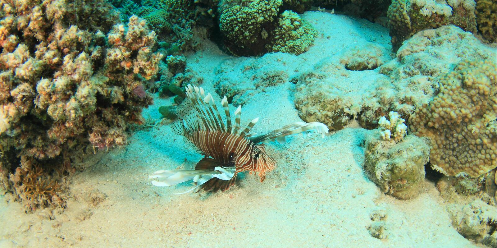 African lionfish royalty free stock image