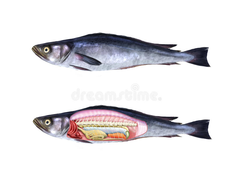 Fish anatomy stock illustration. Illustration of medicine - 48928908