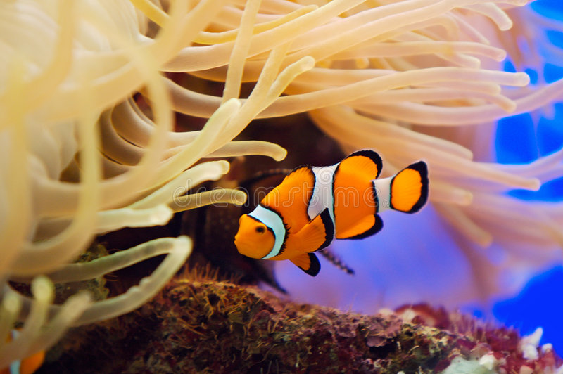 Fish and anemone. A photo of a fish and anemone