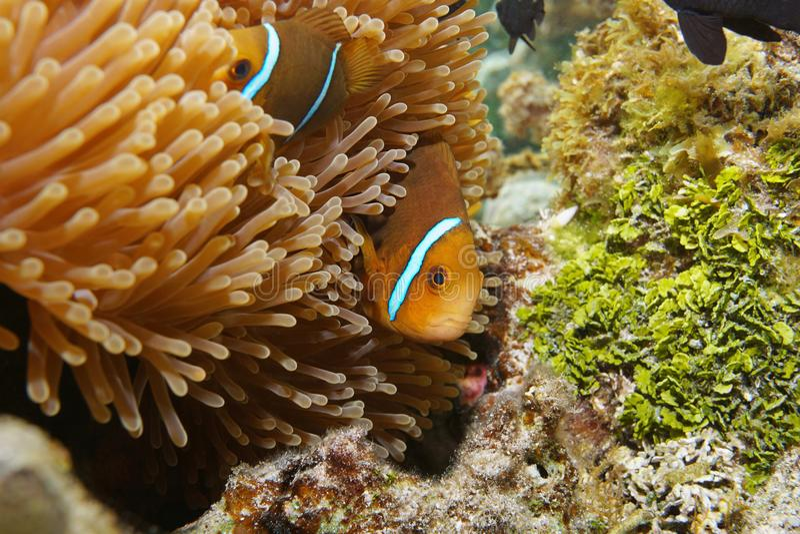 Fish anemonefish hidden in sea anemone tentacles. Tropical fish orange-fin anemonefish, Amphiprion chrysopterus, hidden in sea anemone tentacles, underwater stock photography