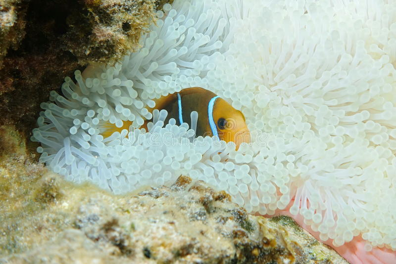 Fish anemonefish hiding in anemone tentacles stock image