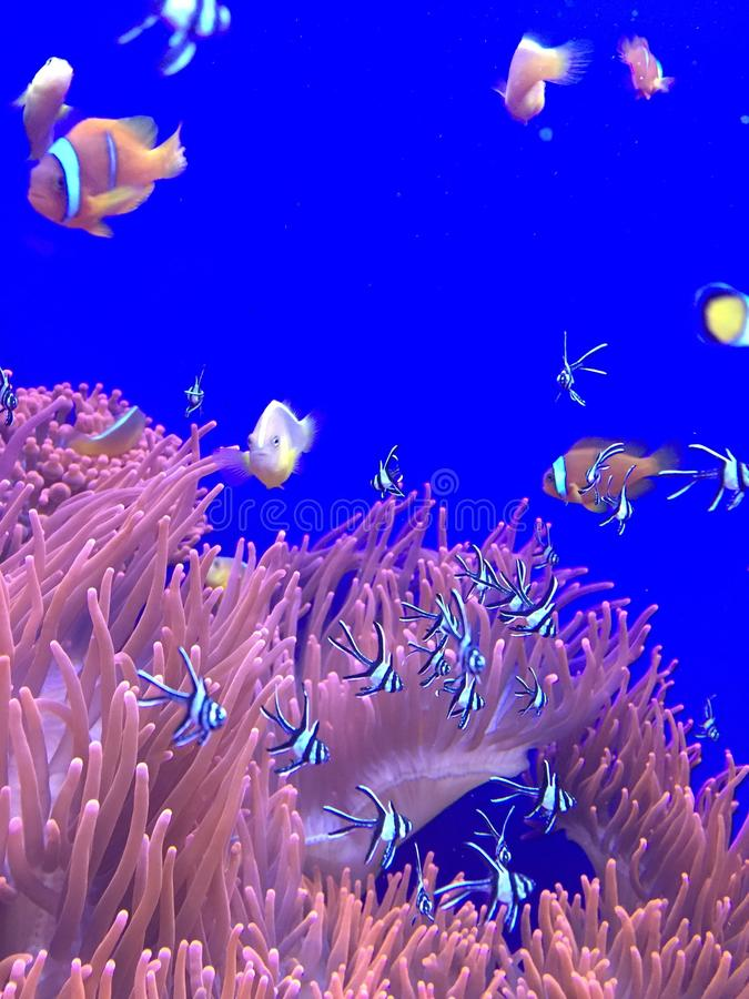 fish and anemones stock images