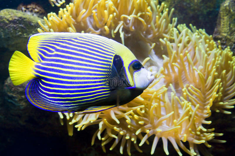 Fish-angel or Fish-emperor and Actinia (Sea anemone). Tropical fish Fish-angel, other name Fish-emperor, latin name Pomacanthus, and Actinia (Sea anemone stock photos