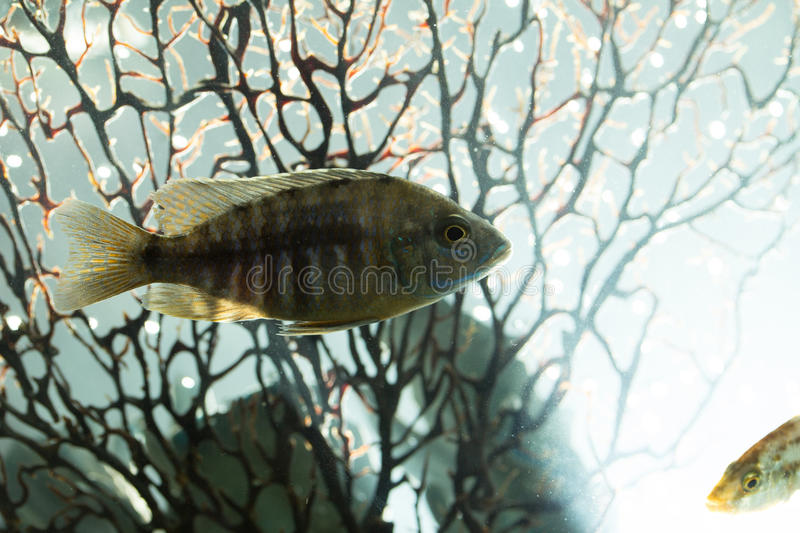 Fish in aquarium royalty free stock image