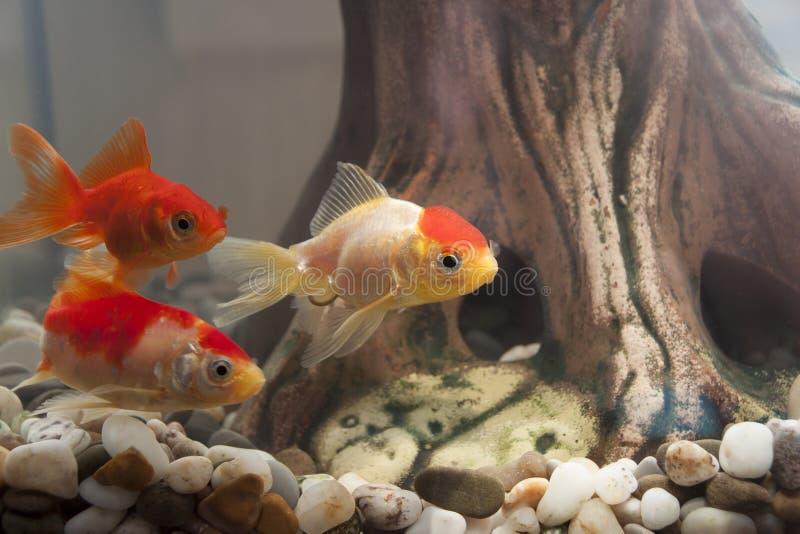 Fish in an aquarium. Fish in the home aquarium stock photos
