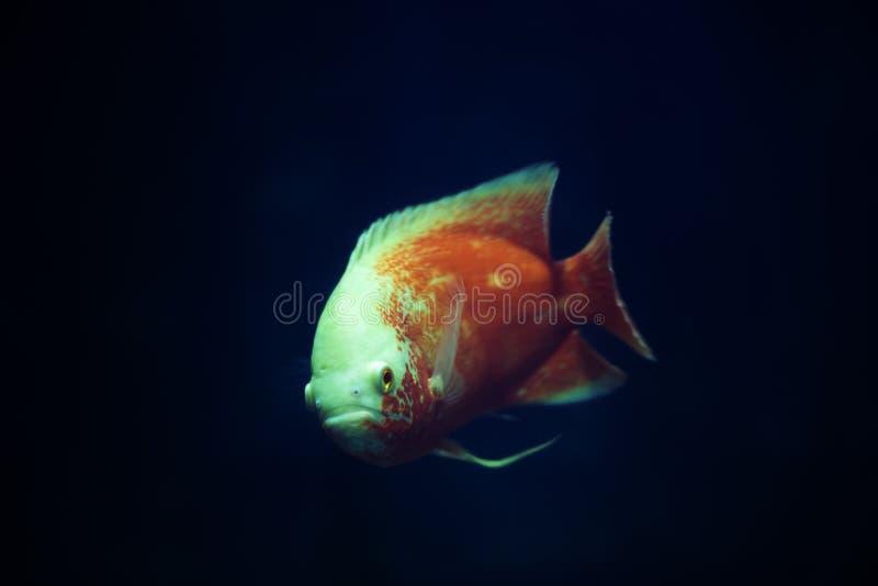 A fish in the aquarium royalty free stock photos
