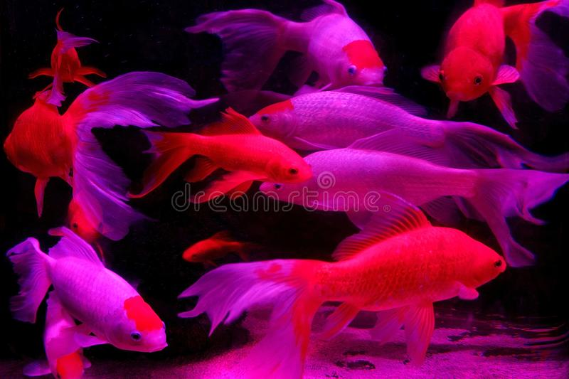 Fish in the aquarium stock photos