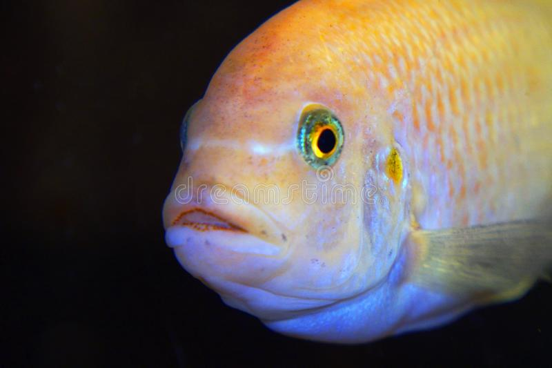 The fish in the aquarium. Portrait of an African aquarium fish of the cichlid family called Pseudotropheus lombardoi stock photos