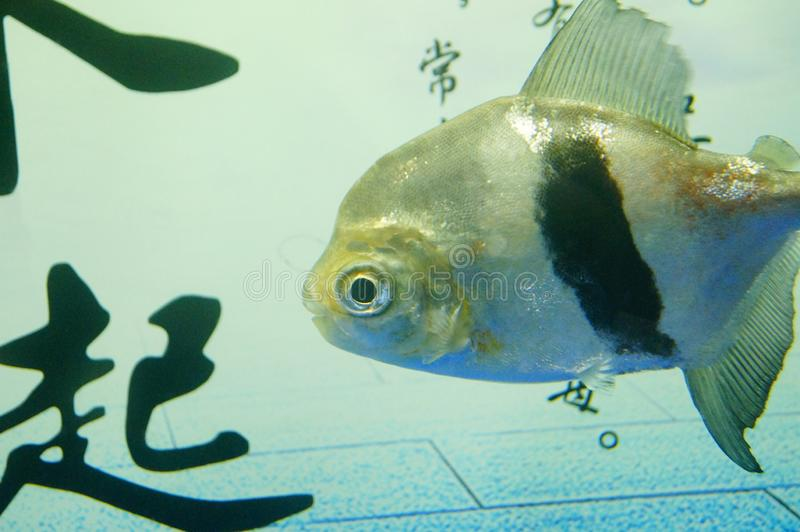 Fish in the aquarium, very cute fish stock photography