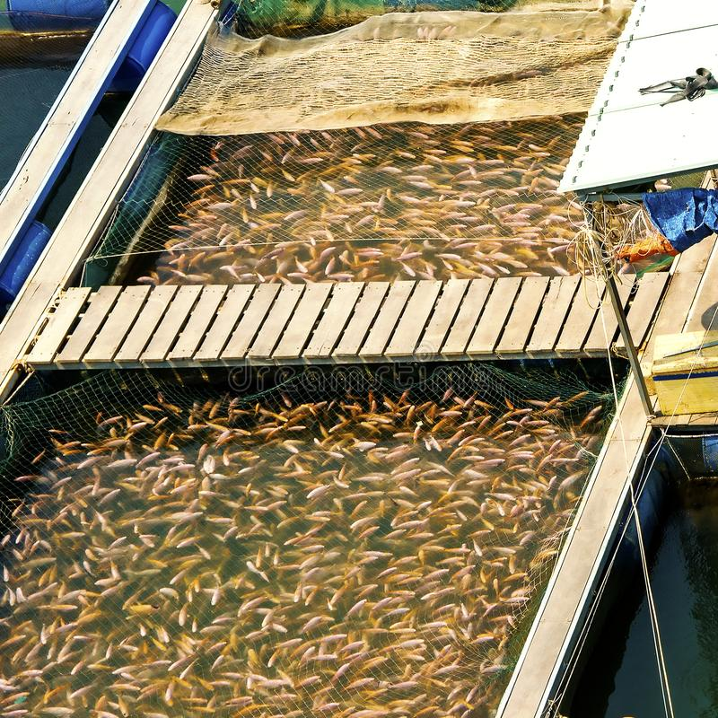 Fish in an artificial pool on a fish farm in Vietnam. Fishery industry royalty free stock images