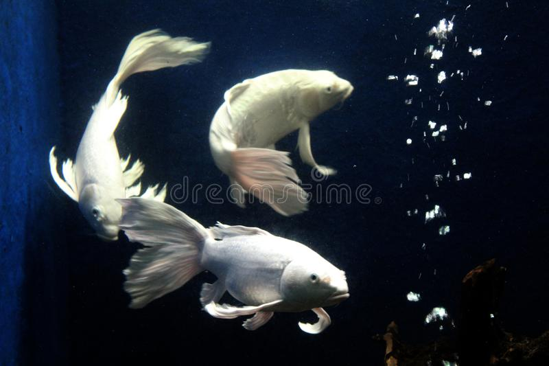 Ornamental fish long tail fin tropical fish from indonesia stock photo