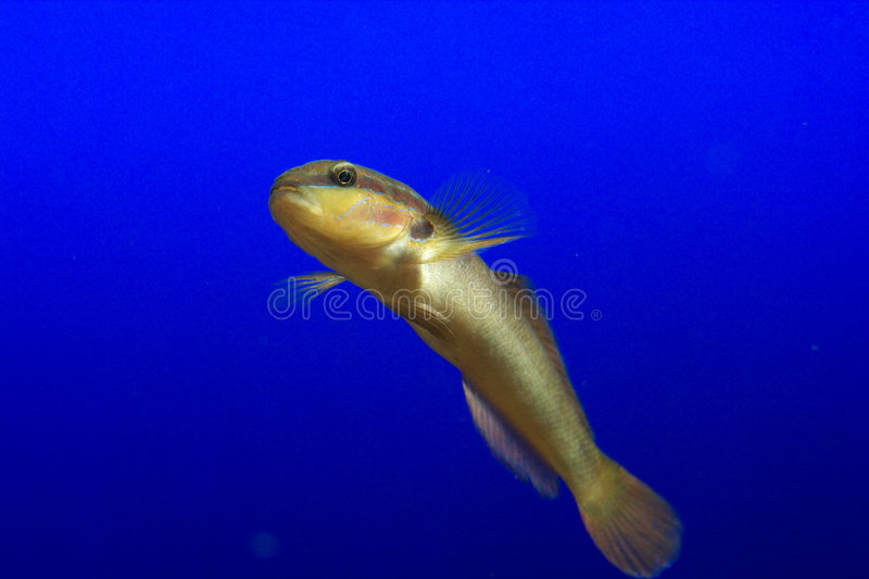 Download Fish on blue background stock image. Image of undersea - 7263771