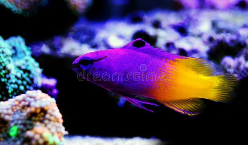 Royal gramma basslet violet -  Gramma loreto stock photo