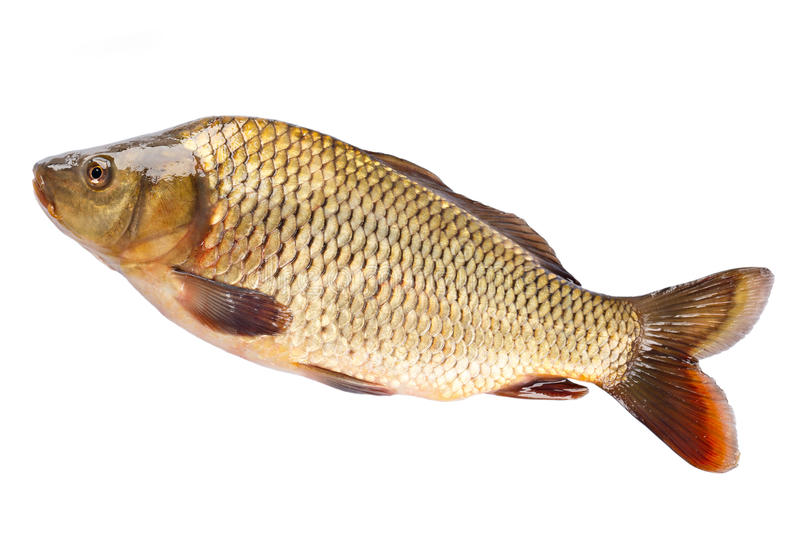 Fish carp isolated on white royalty free stock images