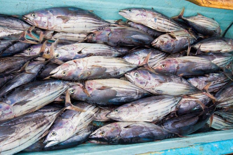 Fish catch. Boat full of fish freshly caught by fishermen in Ecuador stock photos