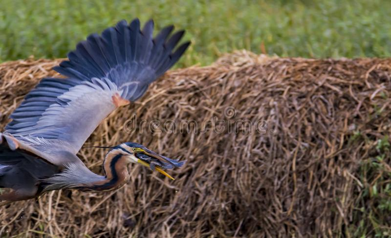 Fish Catch: Ardea purpurea or the Purple heron. Behavior of herons to keep their beaks open and break occasionally. Purple herons are colonial breeders and build stock photography