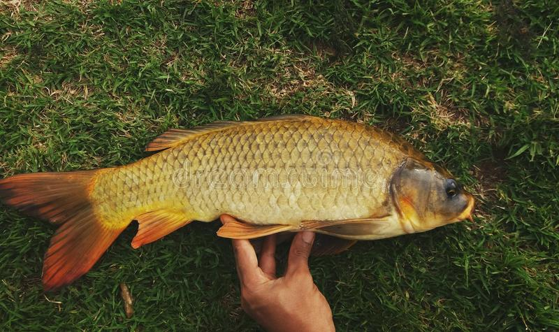 Golden carp. Fish caught in dam royalty free stock photos